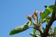 Οφθαλμοί λουλουδιών της Apple Στοκ φωτογραφία με δικαίωμα ελεύθερης χρήσης