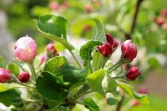 Οφθαλμοί λουλουδιών του μήλου Στοκ Εικόνες
