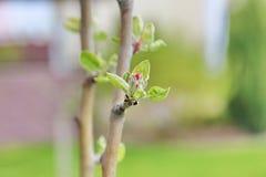 Οφθαλμοί λουλουδιών του μήλου Στοκ Φωτογραφία