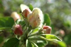 Οφθαλμοί λουλουδιών των δέντρων μηλιάς Στοκ Εικόνες