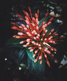 Οφθαλμοί λουλουδιών Στοκ Φωτογραφία