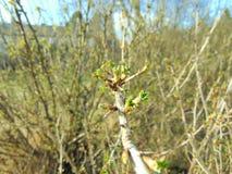 Οφθαλμοί που αυξάνονται στα δέντρα την άνοιξη Στοκ εικόνα με δικαίωμα ελεύθερης χρήσης
