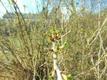 Οφθαλμοί που αυξάνονται στα δέντρα την άνοιξη Στοκ Φωτογραφία