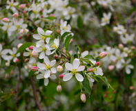 Οφθαλμοί της Apple και ανθίζοντας λουλούδια μήλων Στοκ Φωτογραφίες