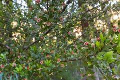 Οφθαλμοί του σέλινο-τοπ πεύκου με τους κόκκινους ρόδινους κώνους και του άσπρου aril με στοκ εικόνες με δικαίωμα ελεύθερης χρήσης