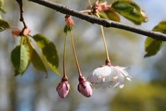Οφθαλμοί των δέντρων sakura Στοκ Εικόνες