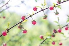 Οφθαλμοί των μικρών ρόδινων λουλουδιών Στοκ Εικόνα