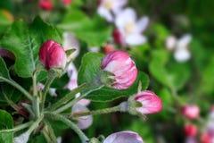 Οφθαλμοί των λουλουδιών ενός Apple-δέντρου και των φύλλων σε έναν στηθόδεσμο Apple-δέντρων Στοκ Φωτογραφίες
