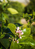 Οφθαλμοί Bokeh λουλουδιών δέντρων λεμονιών Στοκ φωτογραφία με δικαίωμα ελεύθερης χρήσης