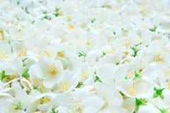Οφθαλμοί jasmine του υποβάθρου Στοκ φωτογραφία με δικαίωμα ελεύθερης χρήσης