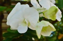 Οφθαλμός και άνθιση των άσπρων ορχιδεών στοκ εικόνες με δικαίωμα ελεύθερης χρήσης