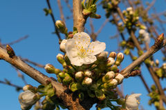 Οφθαλμός λουλουδιών δέντρων της Apple στην άνοιξη Στοκ φωτογραφίες με δικαίωμα ελεύθερης χρήσης