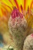Οφθαλμός λουλουδιών κάκτων Στοκ εικόνα με δικαίωμα ελεύθερης χρήσης