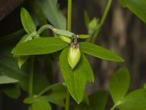 Οφθαλμός λουλουδιών και φύλλα του ευρωπαϊκού ή κοινού columbine, Aquilegia vulgaris, κινηματογράφηση σε πρώτο πλάνο, εκλεκτική εσ Στοκ εικόνες με δικαίωμα ελεύθερης χρήσης
