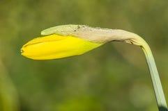 Οφθαλμός λουλουδιών ναρκίσσων Στοκ φωτογραφία με δικαίωμα ελεύθερης χρήσης