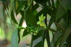 Οφθαλμός λουλουδιών που βλαστάνει την πρώιμη άνοιξη Στοκ Εικόνα
