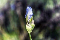 Οφθαλμός λουλουδιών της Iris Στοκ Φωτογραφία