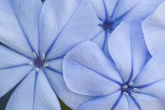 Οφθαλμός λουλουδιών του auriculata Plumbago Στοκ εικόνα με δικαίωμα ελεύθερης χρήσης