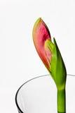 Οφθαλμός λουλουδιών Amaryllis που βλαστάνει από το σαφές εμπορευματοκιβώτιο γυαλιού Στοκ εικόνα με δικαίωμα ελεύθερης χρήσης