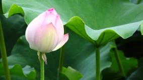 Οφθαλμός λουλουδιών Lotus φιλμ μικρού μήκους