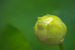 Οφθαλμός λουλουδιών Lotus Στοκ εικόνες με δικαίωμα ελεύθερης χρήσης