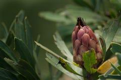 Οφθαλμός λουλουδιών Protea Στοκ Φωτογραφίες