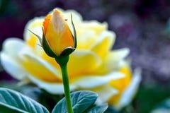 Οφθαλμός λουλουδιών Yellow Rose Michelangelo Στοκ φωτογραφία με δικαίωμα ελεύθερης χρήσης