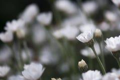 Οφθαλμός της Daisy Στοκ Εικόνες