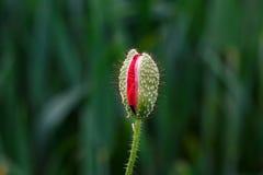 Οφθαλμός του κλειστού κόκκινου λουλουδιού παπαρουνών στο πράσινο υπόβαθρο στοκ εικόνα