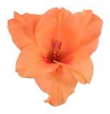 Οφθαλμός του πορτοκαλιού 1 gladiolus στοκ εικόνες