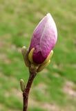 Οφθαλμός του ρόδινου magnolia Στοκ εικόνες με δικαίωμα ελεύθερης χρήσης