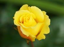 Οφθαλμός των κίτρινων τριαντάφυλλων Στοκ Φωτογραφίες