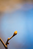 Οφθαλμός φύλλων σε έναν κλαδίσκο Στοκ Φωτογραφίες