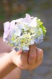 Οφθαλμός Hydrangea στο χέρι Στοκ Φωτογραφίες