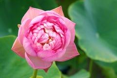 Οφθαλμός Lotus Στοκ εικόνα με δικαίωμα ελεύθερης χρήσης