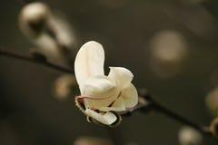 Οφθαλμός Magnolia Στοκ εικόνα με δικαίωμα ελεύθερης χρήσης
