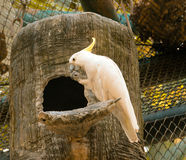 λοφιοφόρος κίτρινος cockatoo Στοκ εικόνες με δικαίωμα ελεύθερης χρήσης