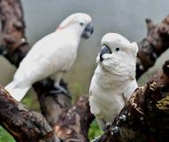 λοφιοφόρος σολομός cockatoo Στοκ εικόνα με δικαίωμα ελεύθερης χρήσης