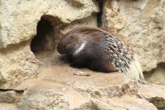 λοφιοφόρο ινδικό porcupine Στοκ Εικόνες