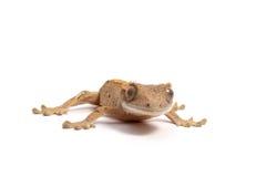 λοφιοφόρο gecko Στοκ Εικόνες