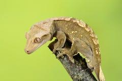 λοφιοφόρο gecko Στοκ Φωτογραφίες