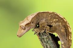 λοφιοφόρο gecko Στοκ Φωτογραφία