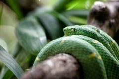 Οχιά κοιλωμάτων Lachesis στη ζούγκλα Στοκ φωτογραφίες με δικαίωμα ελεύθερης χρήσης