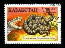 Οχιά κοιλωμάτων Sibirean (Agkistrodon halys), ερπετό serie, circa 199 Στοκ Εικόνα