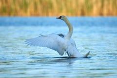 Ο άγριος άσπρος κύκνος κάθεται σε μια λίμνη με το μπλε νερό στοκ φωτογραφίες με δικαίωμα ελεύθερης χρήσης