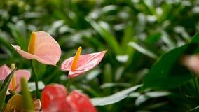 Ο άγριος λεπτός δηλητηριώδης κρίνος της Calla με κίτρινο η άνθιση στον κήπο ως φυσικό floral υπόβαθρο απόθεμα βίντεο