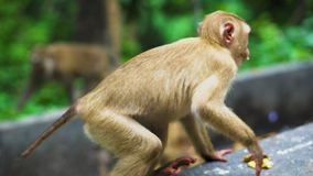 Ο άγριος πίθηκος τρώει τις μπανάνες βιότοπος φυσικός Ασία Ταϊλάνδη, βουνό των πιθήκων απόθεμα βίντεο