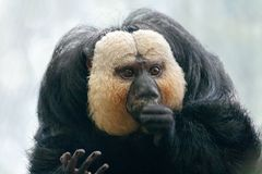 Ο άσπρος-αντιμέτωπος πίθηκος pithecia Pithecia saki Στοκ εικόνα με δικαίωμα ελεύθερης χρήσης