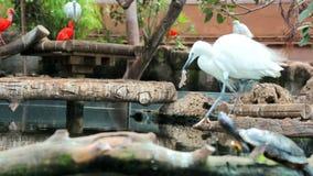 Ο άσπρος ερωδιός παίρνει τα ψάρια από το νερό, αλλά αρχίζει να τρώει το θήραμά του Διατροφή στις άγρια περιοχές φιλμ μικρού μήκους