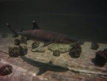 Ο άσπρος καρχαρίας ακρών ακολουθεί τη σκιά του στοκ φωτογραφίες με δικαίωμα ελεύθερης χρήσης